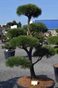 1447 - Borovice lesní - Pinus sylvestris