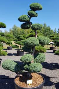 1449 - Jalovec čínský - Juniperus chinensis 'Blue Alps'