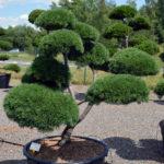 1450 - Borovice kleč - Pinus mugo