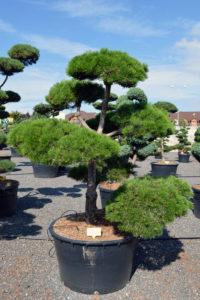 1453 - Borovice černá pravá - Pinus nigra nigra
