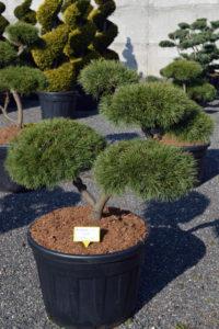 1454 - Borovice lesní - Pinus sylvestris