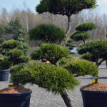 1455 - Borovice lesní - Pinus sylvestris