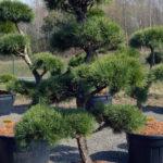 1456 - Borovice lesní - Pinus sylvestris