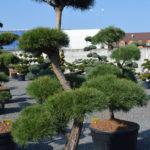 1457 - Borovice lesní - Pinus sylvestris