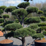 1458 - Borovice lesní - Pinus sylvestris