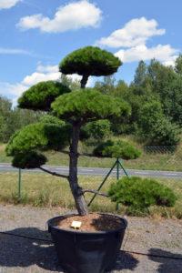 1460 - Borovice černá pravá - Pinus nigra nigra