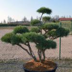 1461 - Borovice lesní - Pinus sylvestris 'Watereri'