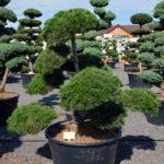 1462 - Borovice černá pravá - Pinus nigra nigra