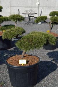 1463 - Borovice lesní - Pinus sylvestris
