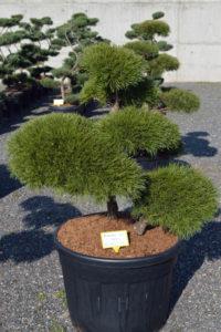 1464 - Borovice lesní - Pinus sylvestris
