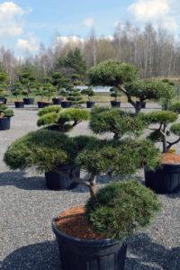 1465 - Borovice lesní - Pinus sylvestris