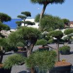 1466 - Borovice lesní - Pinus sylvestris