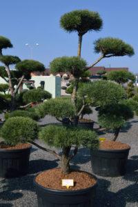 1467 - Borovice lesní - Pinus sylvestris