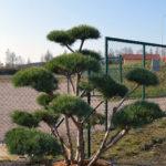 1471 - Borovice lesní - Pinus sylvestris 'Watereri'