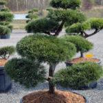 1472 - Borovice lesní - Pinus sylvestris