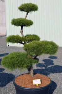1473 - Borovice lesní - Pinus sylvestris