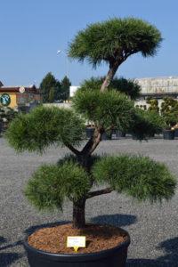 1474 - Borovice lesní - Pinus sylvestris