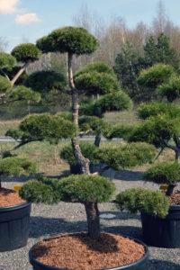 1476 - Borovice lesní - Pinus sylvestris