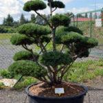 1479 - Borovice lesní - Pinus sylvestris 'Watereri'