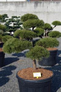 1480 - Borovice lesní - Pinus sylvestris