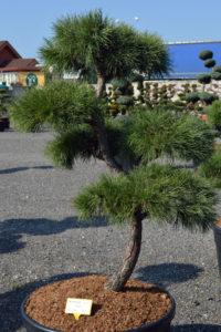 1481 - Borovice lesní - Pinus sylvestris