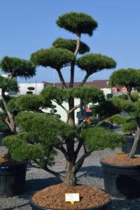1483 - Borovice lesní - Pinus sylvestris