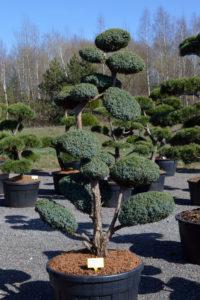 1484 - Jalovec čínský - Juniperus chinensis 'Blue Alps'
