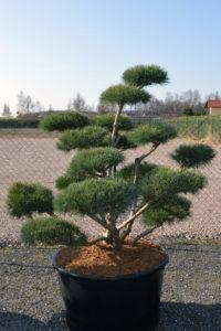 1486 - Borovice lesní - Pinus sylvestris 'Watereri'