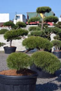 1487 - Borovice lesní - Pinus sylvestris