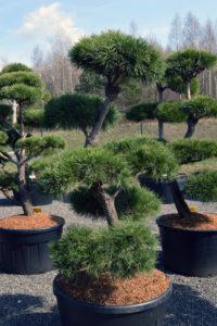 1488 - Borovice lesní - Pinus sylvestris