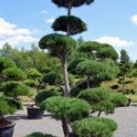 1489 - Borovice lesní - Pinus sylvestris