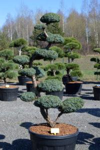1490 - Jalovec čínský - Juniperus chinensis 'Blue Alps'