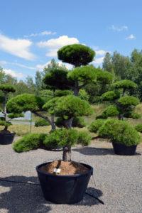 1492 - Borovice černá pravá - Pinus nigra nigra