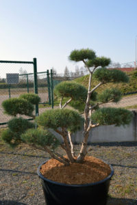 1493 - Borovice lesní - Pinus sylvestris 'Watereri'