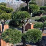 1494 - Borovice lesní - Pinus sylvestris