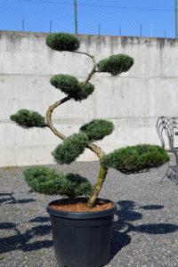 1500 - Jalovec viržinský - Juniperus virginiana 'Grey Owl'