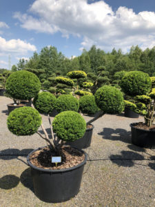 1503 - Tis japonský - Taxus cuspidata 'Farmen'