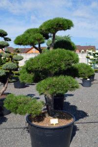 1506 - Borovice černá pravá - Pinus nigra nigra