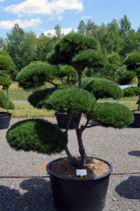 1508 - Borovice kleč - Pinus mugo
