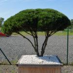 1509 - Borovice kleč - Pinus mugo mughus