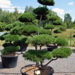 1511 - Borovice kleč - Pinus mugo
