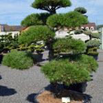1515 - Borovice černá pravá - Pinus nigra nigra