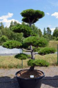 1516 - Borovice černá pravá - Pinus nigra nigra