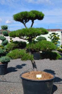 1517 - Borovice černá pravá - Pinus nigra nigra