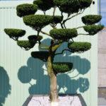 1518 - Zimostráz obecný - Buxus sempervirens
