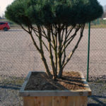 1519 - Borovice lesní - Pinus sylvestris 'Watereri'