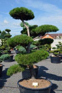 1526 - Borovice černá pravá - Pinus nigra nigra
