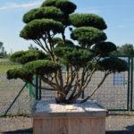 1527 - Borovice lesní - Pinus sylvestris 'Watereri'