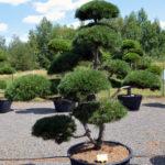 1529 - Borovice kleč - Pinus mugo
