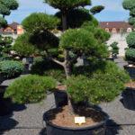 1532 - Borovice černá pravá - Pinus nigra nigra